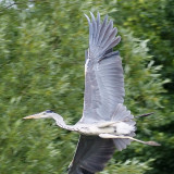 A heron tries to avoid us