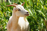 Goat in the back yard