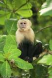 White-throated Capuchin Monkey, Manuel Antonio National Park, Costa Rica