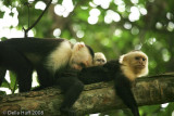 White-throated Capuchin Monkeys, Manuel Antonio National Park, Costa Rica