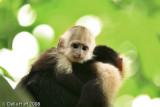 Baby White-throated Capuchin Monkey, Manuel Antonio National Park, Costa Rica