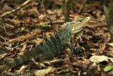 Iguana, Manuel Antonio National Park, Costa Rica