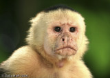 Portrait of a White Faced Capuchin Monkey, Manuel Antonio National Park, Costa Rica