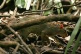 Agouti, Costa Rica