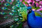 Peacock Bright