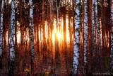Dawn In The Birches