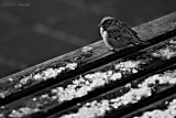 Sparrow In B&W