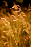 Golden Straw