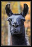 camel_alpaca_llama