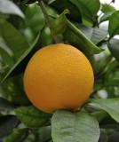 O = Oranges