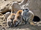 No. 23 - Several Species of Small Furry Animals gathered together in a Cave and Grooving with a Pict