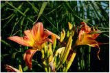 Lilies in the sunlight.