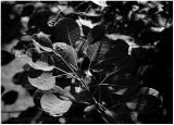 Smokebush leaves (ditto sunlight).
