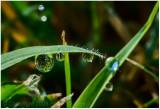 Hanging dew.
