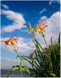 Sky lilies.