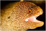 Goldentail eel.