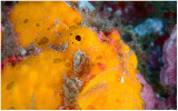Portrait of a frogfish.