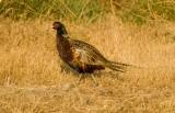 Pheasant_572z_