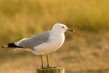 Gull_572zz