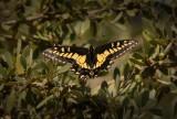 Swallowtail_605i