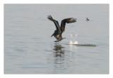 Brown Pelican ... landing_610h