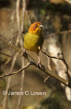 Fulvous-headed Brush-finch