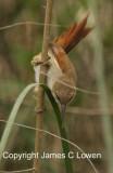 Straight-billed Reedhaunter