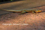 Etheridge's Lava Lizard