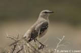 Patagonian Mockingbird