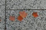 Four Maple Leaves.JPG