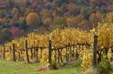 VA Fall Grape Vines.JPG