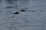 A pair of Beavers