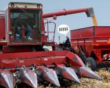 Enjoying a plentiful harvest (corn)
