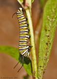 Monarch Metamorphosis