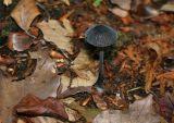 Mycena galopus nigra
