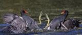 Common Moorhens fighting