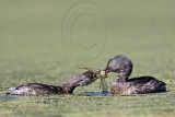 Least Grebe – Feeding Juveniles - BBSP