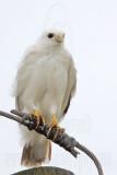 _MG_3597 Leucistic Red-tailed Hawk.jpg