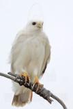 _MG_3600 Leucistic Red-tailed Hawk.jpg
