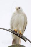 _MG_3642 Leucistic Red-tailed Hawk.jpg