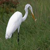 _MG_6997 Great Egret.jpg