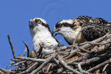 Osprey - Eye colors: adult & young