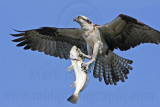 Osprey - Landing with fish