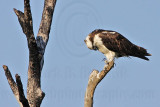 Osprey - Checking and cleaning feet