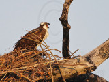 Osprey - Female begging call for food