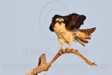 Osprey - On perch shake