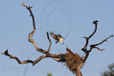 Osprey - Courtship feeding