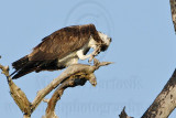 Osprey - Head scratching