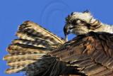 Osprey - Preening