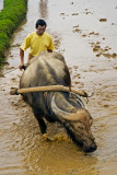 farmer and water buffalo